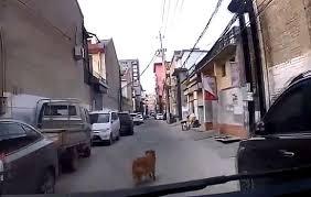 В Китае собака прославилась на всю страну