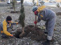 В Бишкеке началась зимняя посадка хвойных деревьев