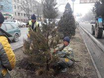 В столице высаживают хвойные породы деревьев