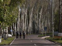 При ремонте дорог в Бишкеке деревья будут максимально сохранены