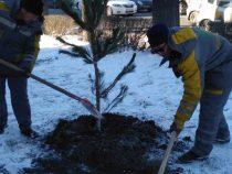 Столицу продолжают озеленять хвойными породами деревьев