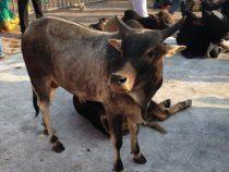 Шведский стол: в Гонконге три коровы зашли в магазин полакомиться фруктами