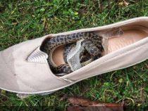 Питон приехал в Шотландию в коробке из-под обуви