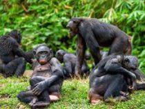 Ученые обнаружили примитивные орудия ушимпанзе насевере Конго