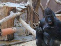 Женщина в костюме гориллы помогла поймать нарушителя в Австралии