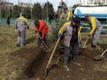 В столице завершились зимние посадки хвойных деревьев