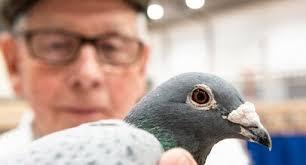 Самый дорогой голубь в мире был продан в Бельгии
