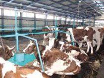 Томским фермерам запретили ругаться на коров