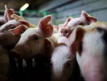 В Бельгии фермер включает свиньям рок