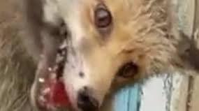 Кыргызстанец прибил лису гвоздями к стене и всерьез отчитал ее