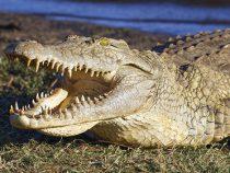 Крокодил заживо съел мывшего руки в реке рабочего