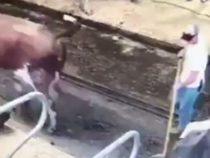 Фермер получил неприятный «снаряд» от одной из коров