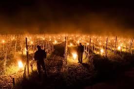 Чтобы спасти виноградники от замерзания, их украсили пылающими факелами