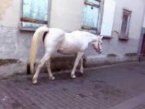 Каждое утро жители Франкфурта-на-Майне могут наблюдать лошадь, которая гуляет сама посебе