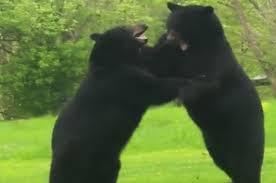 Житель США обнаружил во дворе дома дерущихся медведей.
