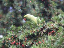 В Новой Зеландии впервые провели операцию на головном мозге попугаю