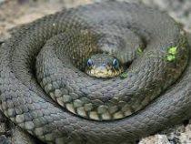 В Аризоне змея патрулировала район вместе с полицейскими