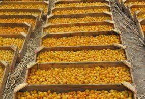В Баткенской области начался сезон сбора абрикоса
