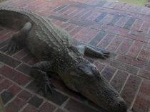 Аллигатора, расположившегося на крыльце, отругали за то, что он без поводка