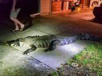 Трёхметровый аллигатор уничтожил винный погреб жительницы США