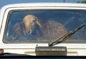 Ат- Башинские бараны умеют сам запрыгивать в багажник машины