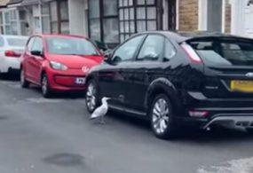 В Великобритании чайка напала на припаркованные машины