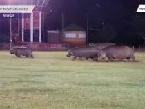 Бегемоты сорвали матч по регби в ЮАР