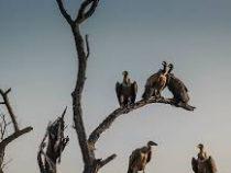 Более 500 грифов и стервятников погибли от отравления слонами в Ботсване