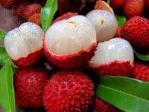 В Хайнане установили мировой рекорд по сбору плодов личи