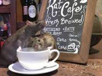 Кафе для любителей крыс открылось в Сан-Франциско