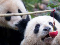 В Китае родился самый маленький детеныш панды