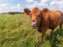 Украденная корова отомстила своему вору смертельным ударом
