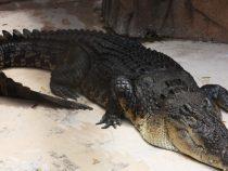 Крокодил проглотил свою челюсть