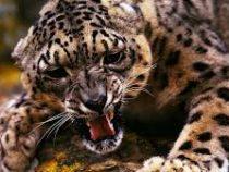 Леопард съел мужчину в его доме