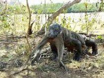 Варан целиком проглотил обезьяну