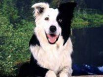 ВСША умерла самая умная собака вмире