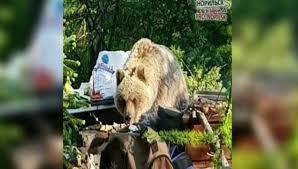 ВНорильске медведь отобрал уотдыхающих шашлык