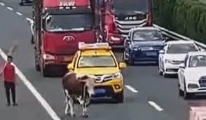 Сбежавшая из грузовика корова вызвала хаос на дороге