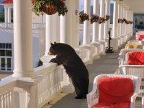 Медведь, явившийся в отель, насладился видом чудесного восхода солнца