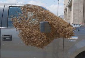 Уставший рой пчёл присел отдохнуть на припаркованный автомобиль