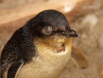 Несмотря на полицейское предупреждение, пингвины вторично проникли в магазин