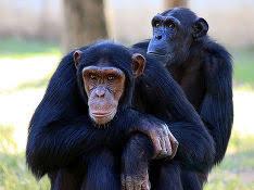 Шимпанзе, сбежавший из клетки, погулял по зоопарку и пнул сотрудника