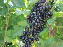 Швейцария предоставит Кыргызстану средства  на повышение качества  фруктов и ягод