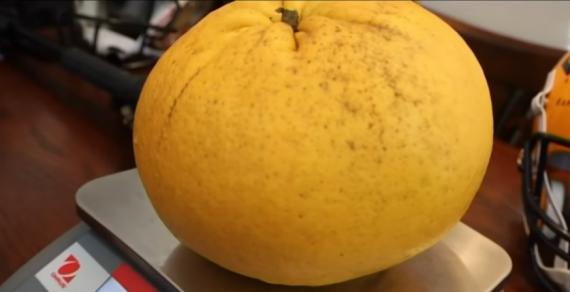 В США вырастили самый большой грейпфрут в мире