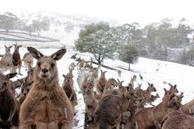 В Сети распространилось видео с прыгающими в снегу кенгуру