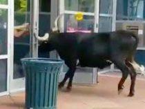 Разъярённый бык устроил погром в Колорадо