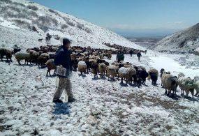 В горных районах Кыргызстана десятки чабанов и сотни голов скота оказались в зоне бедствия из-за обильных снегопадов