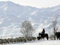В горных районах Кыргызстана из-за сильного снегопада погибает скот