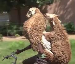 Велосипедист умудрился транспортировать сразу двух овец