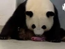 В Германии появились на свет панды-двойняшки